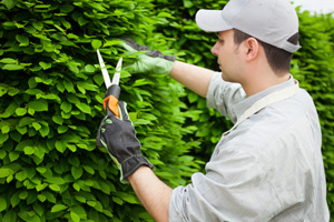 A tree expert pruning a shrub
